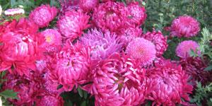 Semienka kvetov