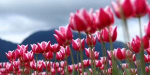 Tulipány a cibuľoviny