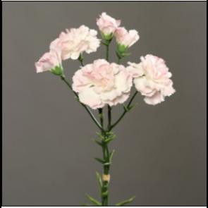 UK Karafiáty ružové