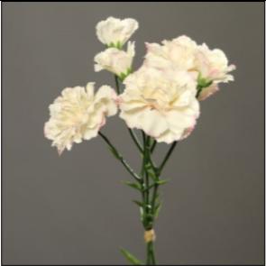 UK Karafiáty krémovo ružové