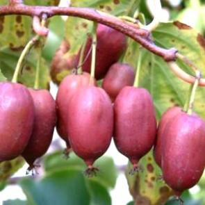 Aktinidie významná 'Red Jumbo' - kiwi