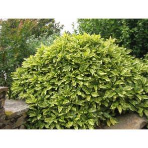 Aukuba japonská 'Crotonifolia' GRD