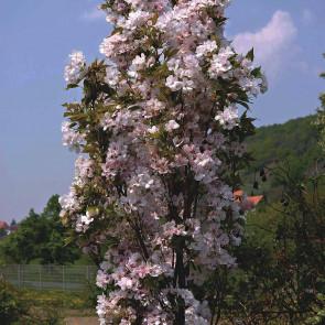 Sakura ozdobná, čerešňa pílkatá 'Amanogawa' km80 TČ