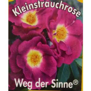 Růže KORDES 'Weg Der Sinne' - růžovo-fialová