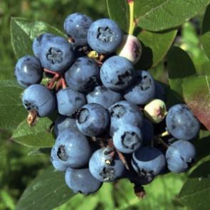 Kanadská borůvka 'BLUEJAY'