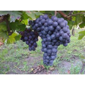 Vinná réva ´Modrý portugal´ RK2 VF