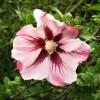 Ibišek syrský 'Hamabo' růžový s vínovým okem